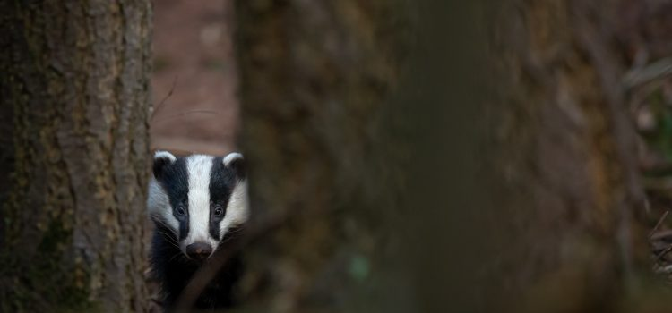 Image of a badger facing the camera from in between two trees